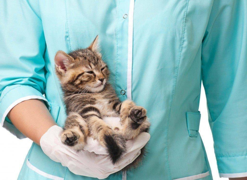 У кошки мастит: как лечить заболевание в домашних условиях, лекарства и народные средства