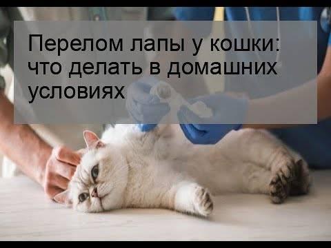 Перелом лапы у кота или котенка: симптомы и лечение в домашних условиях