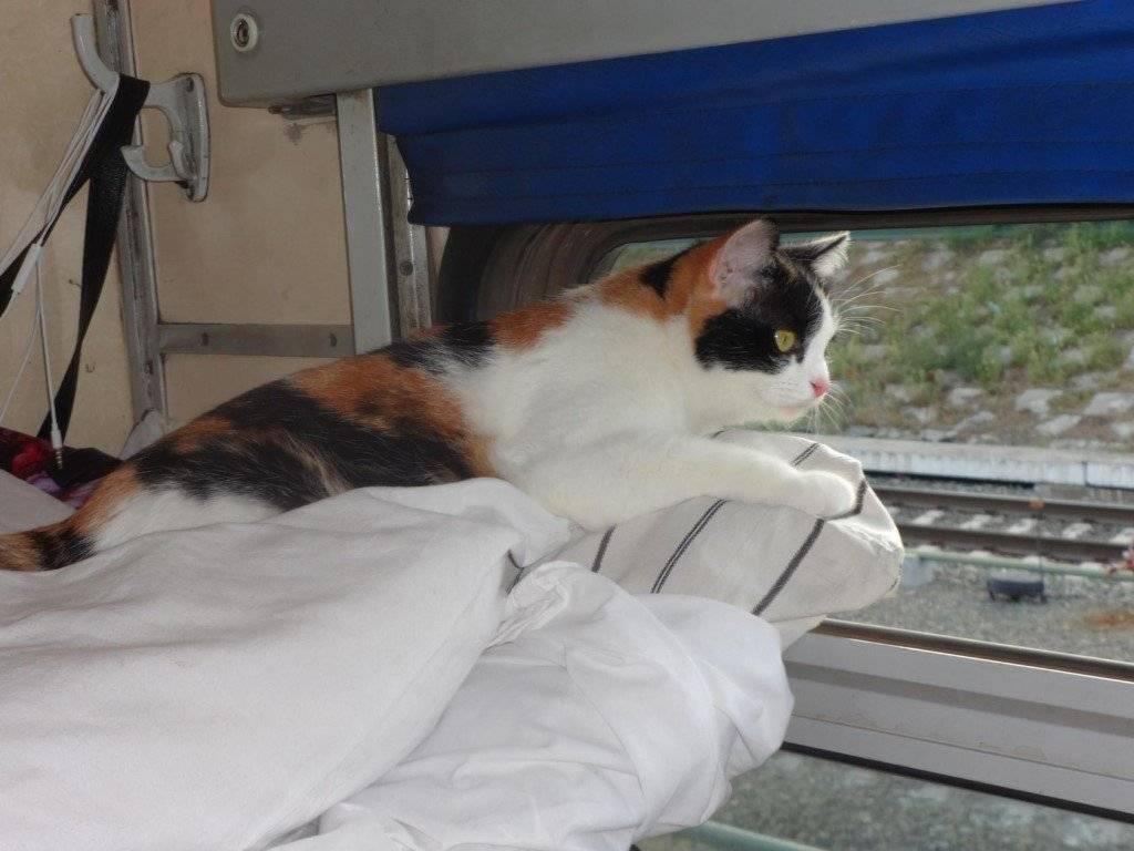 Как перевезти кошку в поезде и что нужно для перевозки по россии
