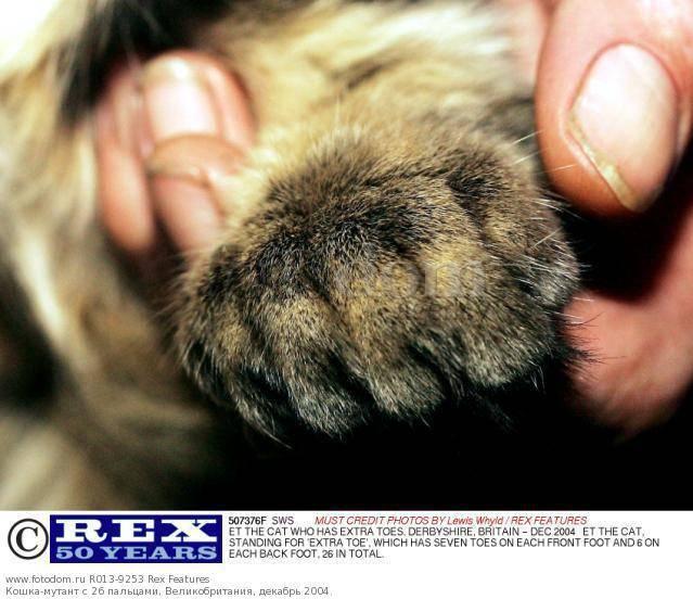 Сколько пальцев у кошки, особенности их строения и возможные аномалии развития