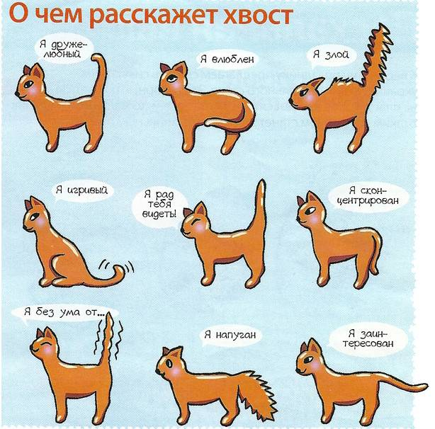 Для чего кошке хвост?