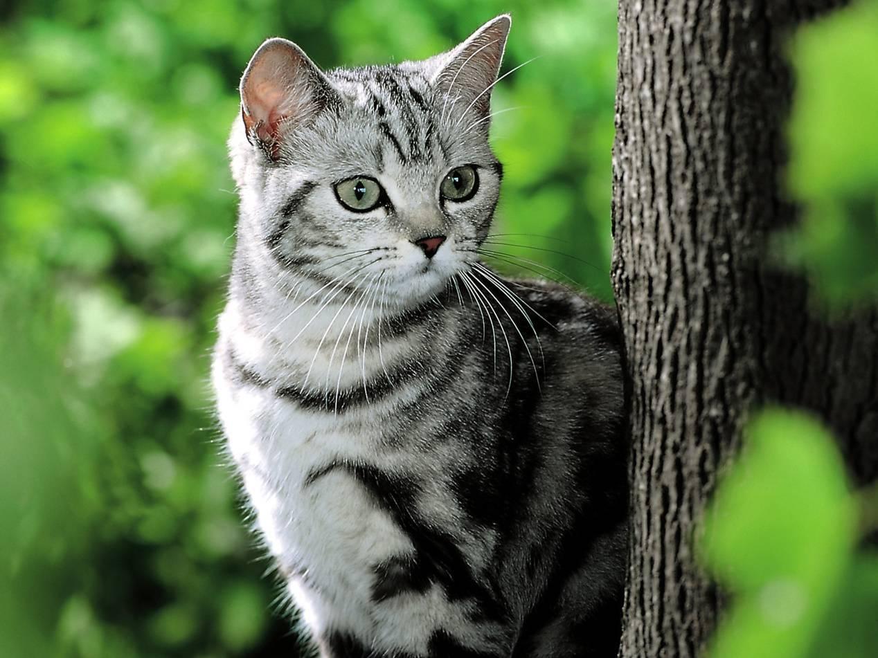 Окрас вискас: как появилась необычная расцветка и у каких пород кошек она встречается