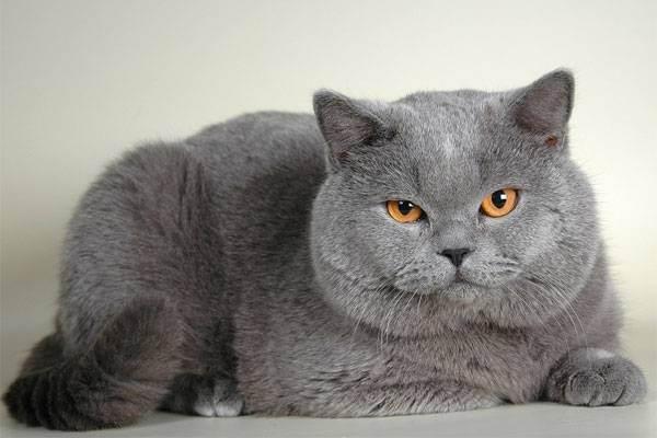 Груминг кошек — советы профессионалов как придать животному выставочный вид (135 фото)