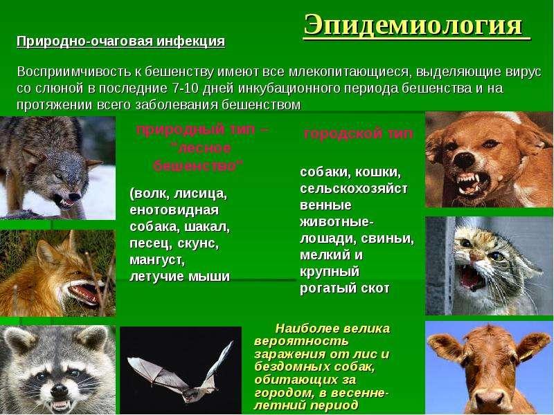 Бешенство у кошек - симптомы и диагностика, опасность болезни для человека