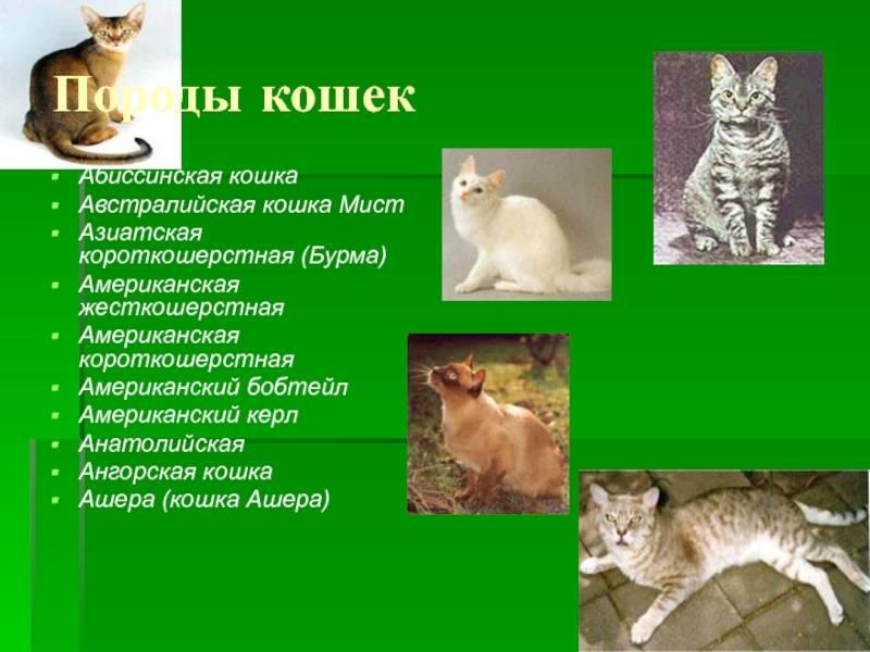 Анатолийская кошка: история породы и особенности содержания