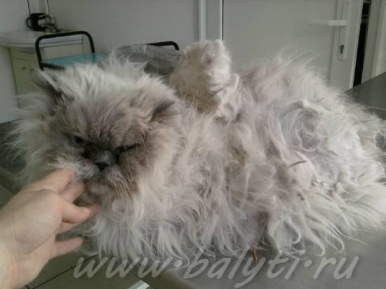 Колтуны у кошки: причины, как от них избавиться. профилактика появления колтунов у кошек с длинной шерстью