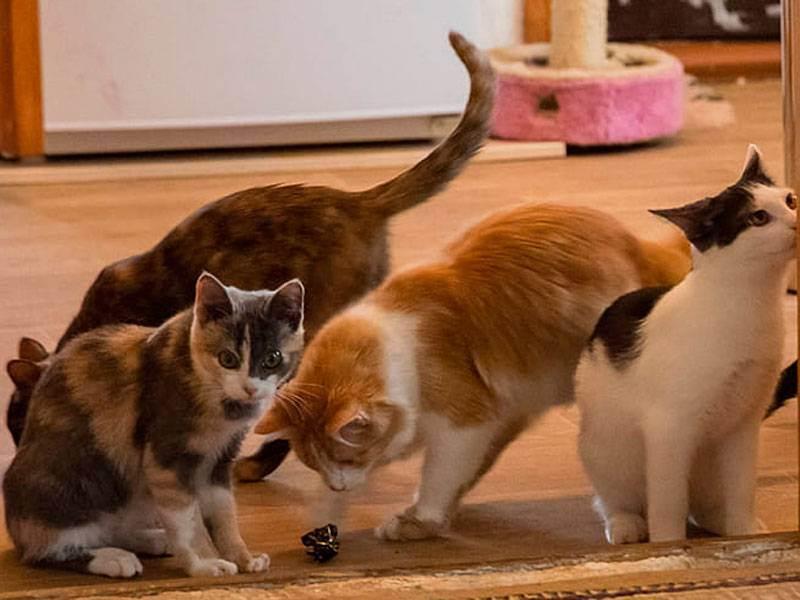 Что делать хозяину, если кошка просит кота