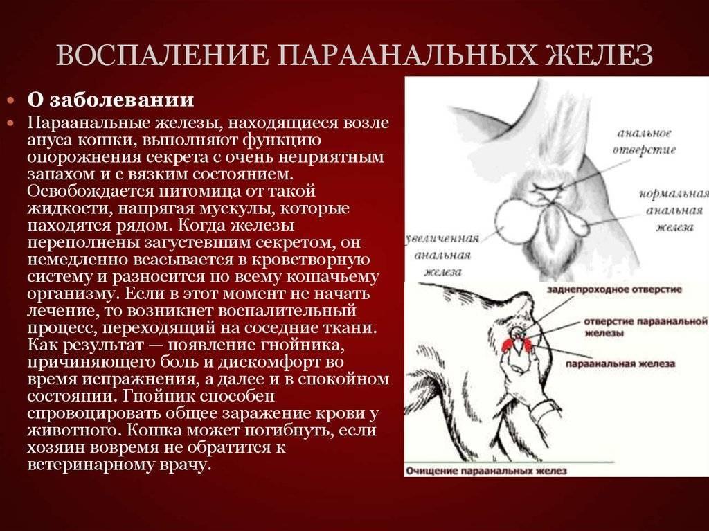 Воспаление параанальных желез у кошек: диагностика и лечение