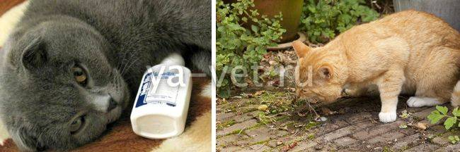 Пищевое отравление у кошек: первая помощь