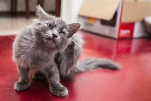 Лезет шерсть у британского кота что делать. котенок линяет - можно ли с этим бороться