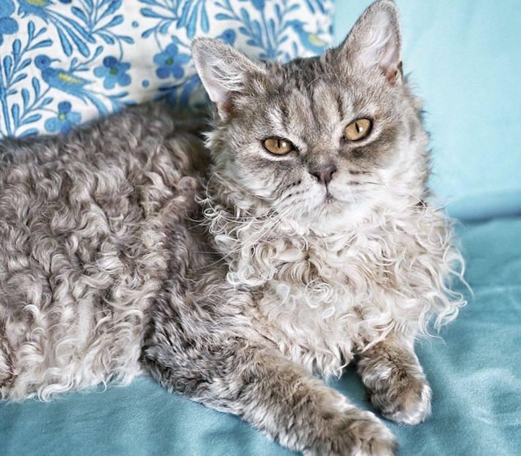 Кудрявые кошки | породы котов с кучерявой шерстью