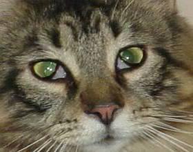 У кота заплывают глаза пленкой что делать. почему у кошки глаза наполовину закрыты пленкой? диагностика, почему глаз кошки наполовину закрыт