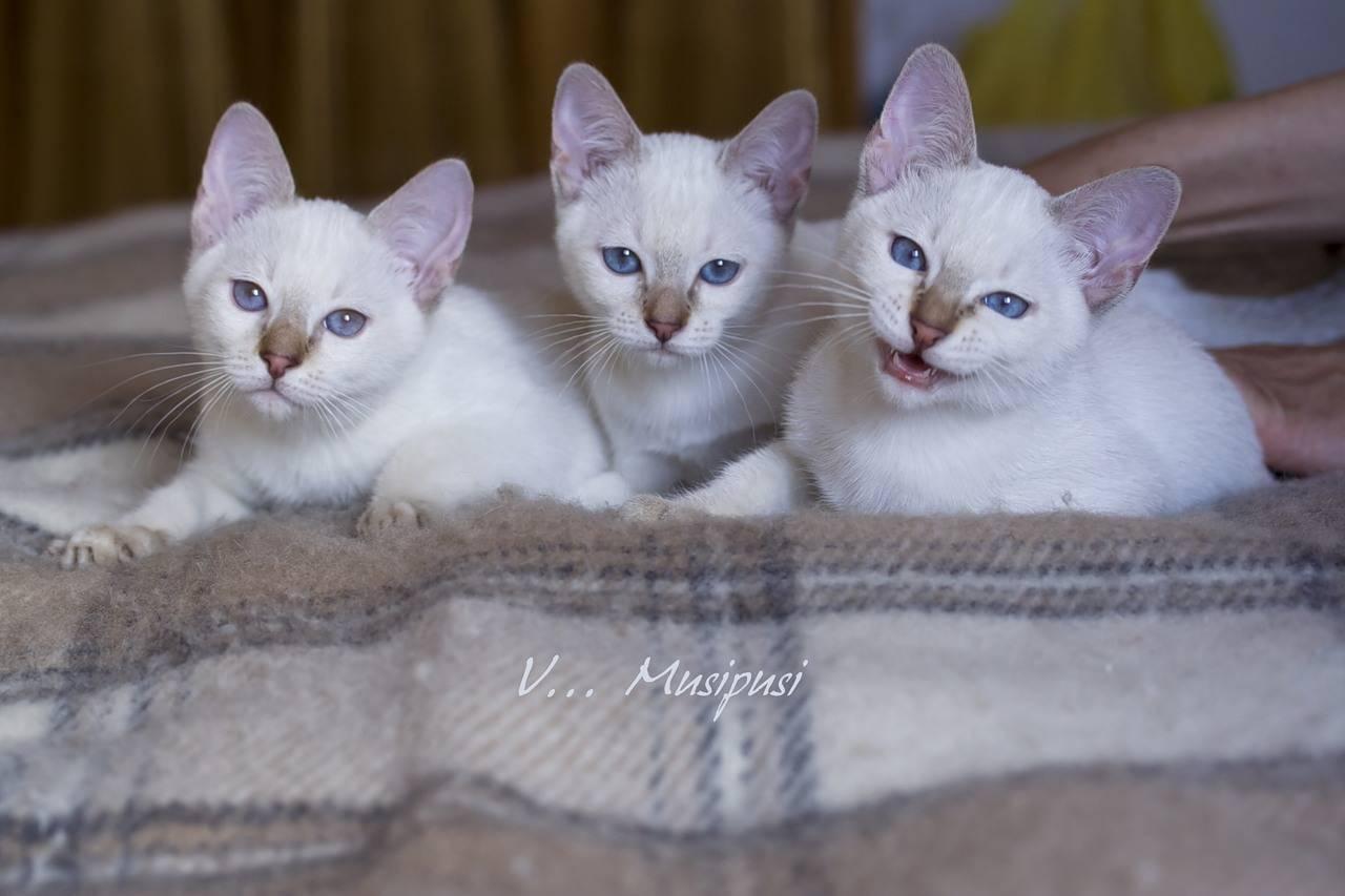Что за порода кошек колор пойнт?
