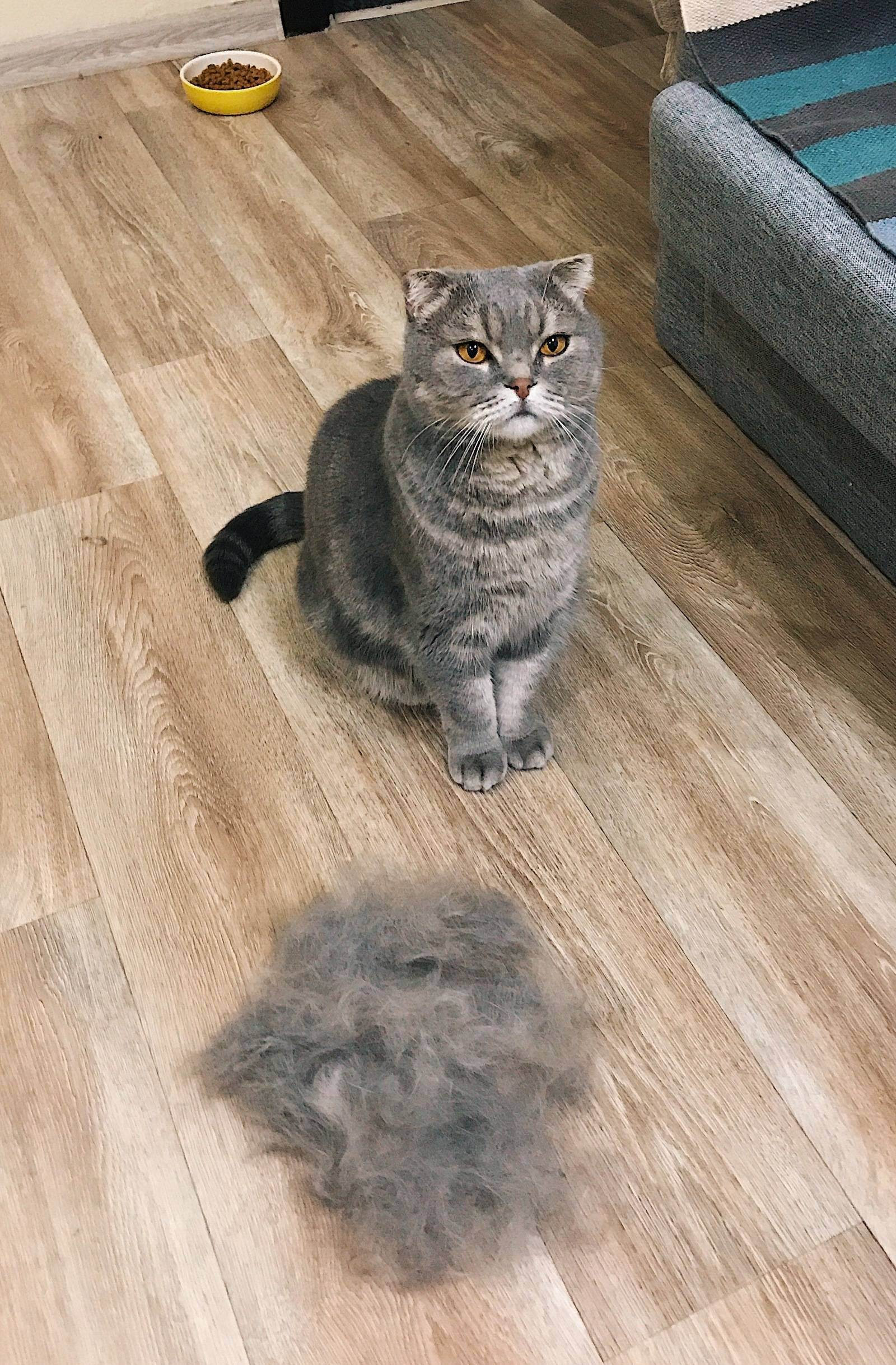 Что делать если линяет шотландский котенок