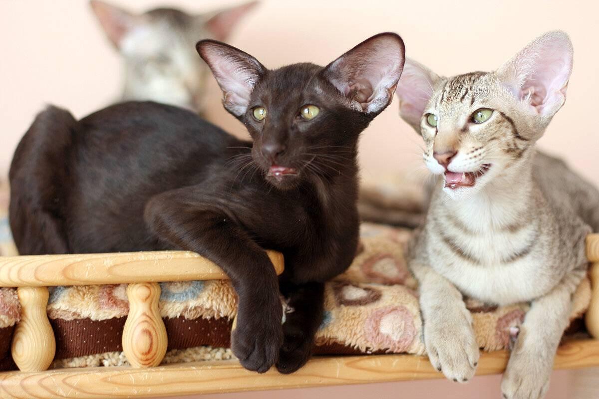 Ориенталы — кошки, любящие общаться