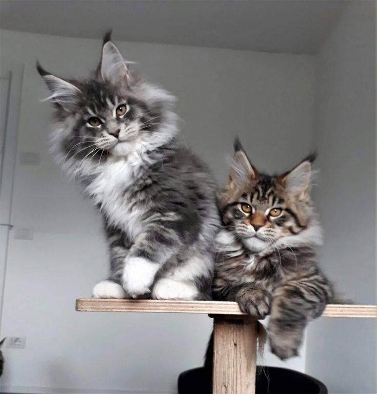 Котята мейн кун, жизни котят по месяцам