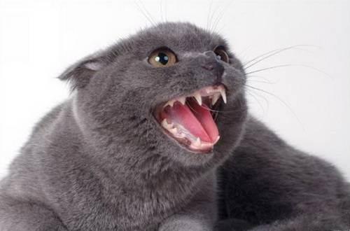 Правила питания, которые должен знать каждый владелец британской кошки
