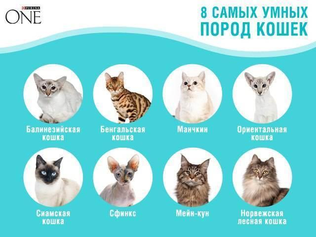 Топ 10 самых любимых и популярных пород кошек (10 фото)