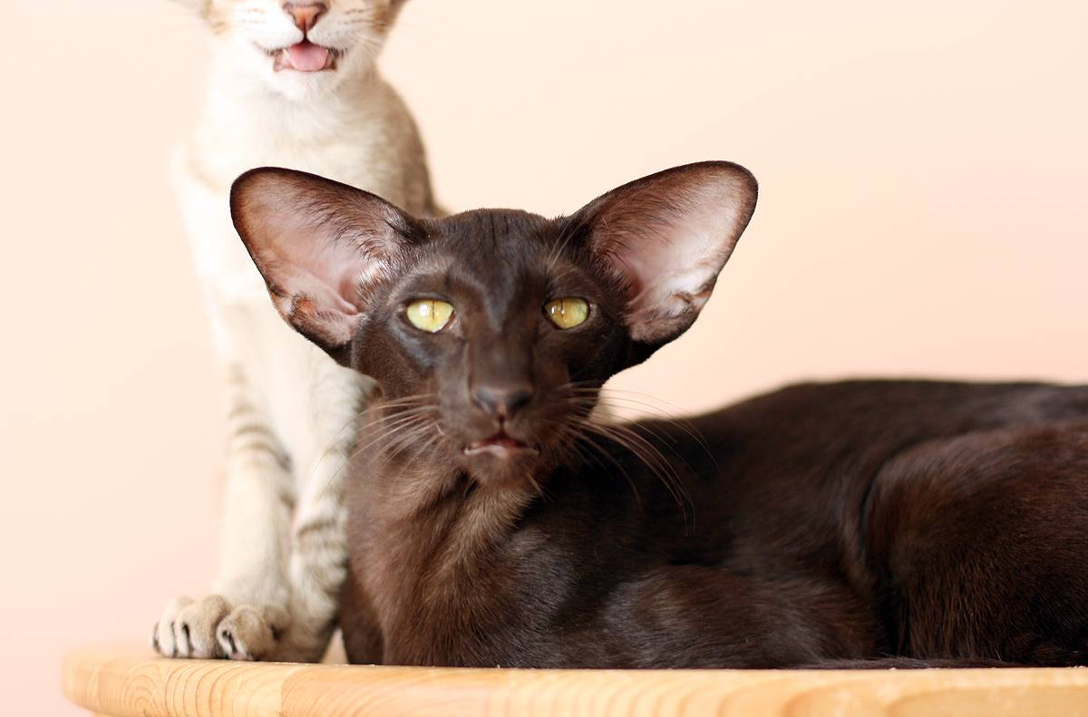 Ориентальная кошка - история возникновения вида, как правильно ухаживать за ушами, шерстью и глазами