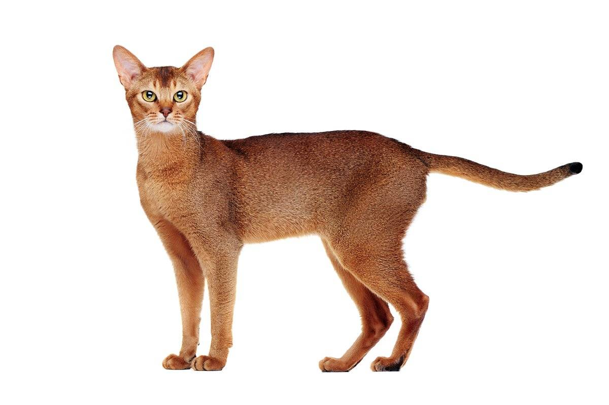 Абиссинская кошка – лазуритовый зверь горизонта
