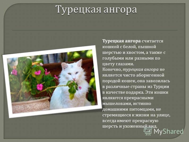 Турецкая ангора — характеристики вида, особенности рациона для кошки и остальные нюансы в обзоре! +115 фото