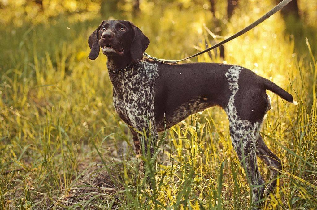 Охотничьи собаки с названиями, фото и описанием пород (ч1)