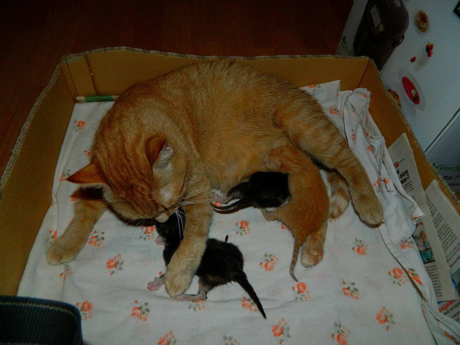 Длительность беременности у кошек