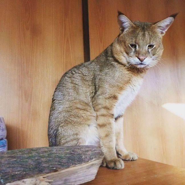 Дикий камышовый кот: внешний вид, размножение в природе