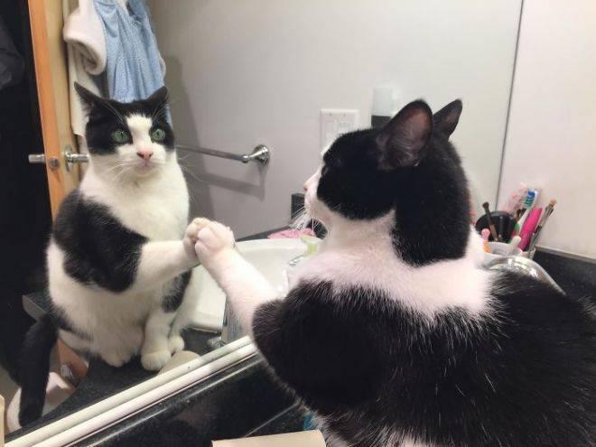 Почему кошки не видят отражение в зеркале. видят ли коты себя в зеркале? однако делать из этого вывод, что кошки не видят отражения, по меньшей мере, глупо. естественно, кошка видит себя в зеркале, если, конечно, она, не дай бог, не слепая