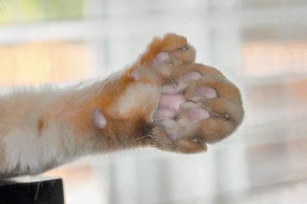 Сколько пальцев у кошки на задних и передних лапах?