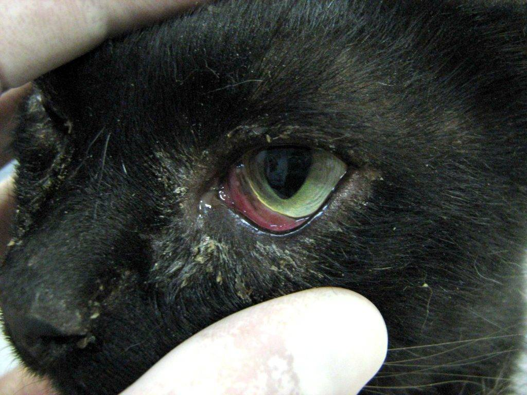 Если у кошки все время слезятся глаза: симптомы, что делать и как лечить в домашних условиях