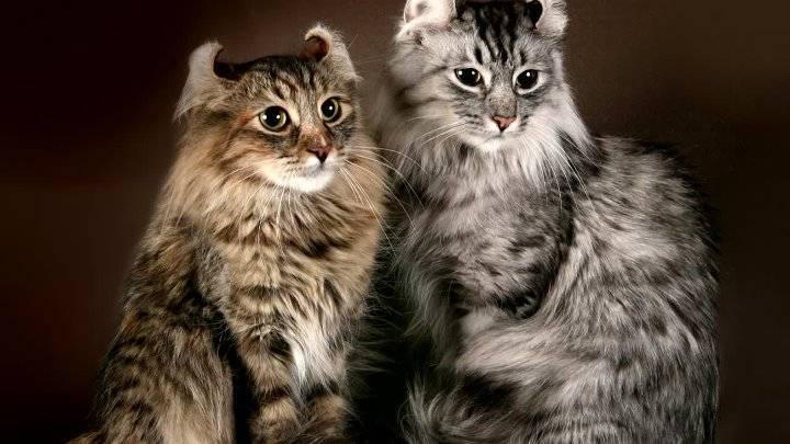 Американский керл: описание и характер породы кошек, уход