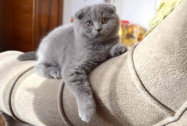 Чем кормить котенка 1, 5 месяца шотландского вислоухого - как кормить шотландского вислоухого котенка - запись пользователя ольга с. (id1262849) в сообществе домашние животные в категории кошки. болезни, прививки, советы по уходу - babyblog.ru