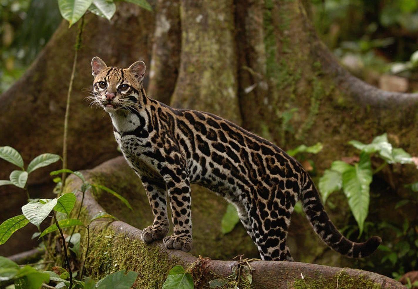 Семейство кошачьих – виды и представители хищных животных   список кошачьих с фото и описанием