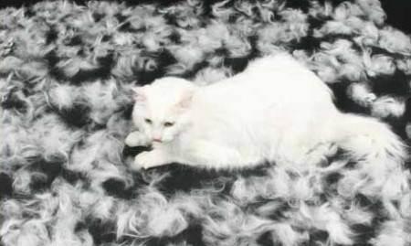 Кот британец сильно линяет: что делать, почему лезет шерсть