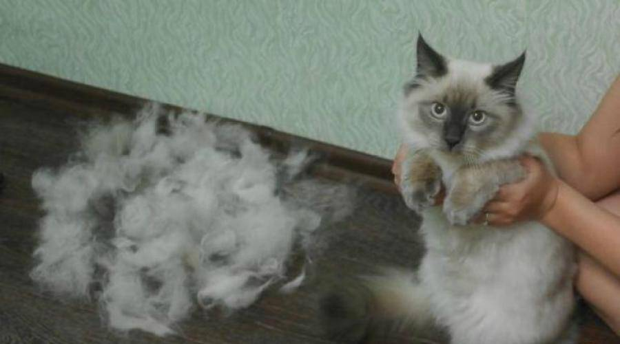 Лапа кота, строение кошачьих ног: сколько когтей у кошки, как устроены передние и задние лапки?