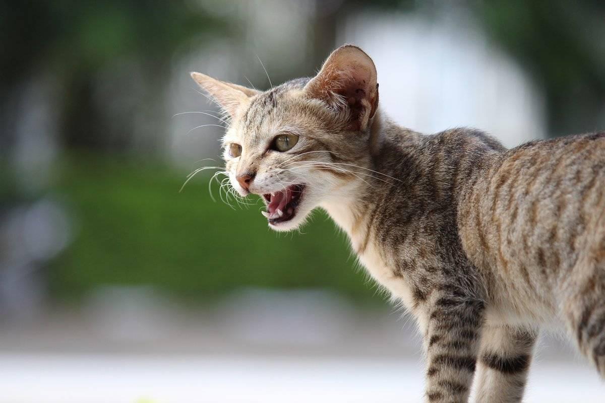 Почему кошка постоянно мяукает, описание самых распространенных причин