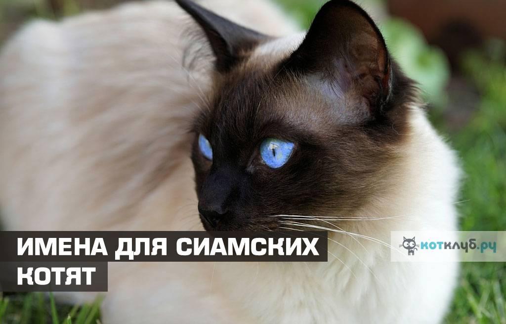 Имя для сиамского кота и кошки: как назвать девочку и мальчика, лучшие клички | medeponim.ru