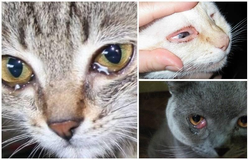 Слезоточивость у кошек во время или после еды