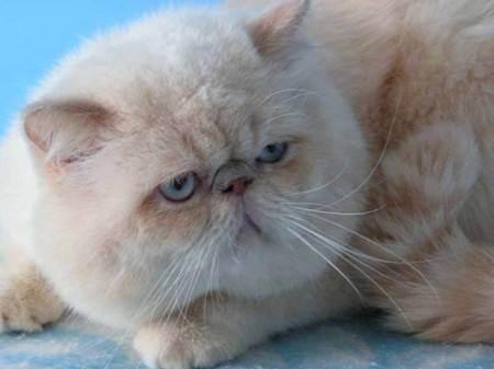 Хозяйки британцев, есть вопросы))) - запись пользователя юля (yuljash_ka) в сообществе домашние животные в категории кошки. болезни, прививки, советы по уходу - babyblog.ru