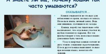 Почему кошки часто умываются: естественные причины вылизывания шерсти и возможные заболевания