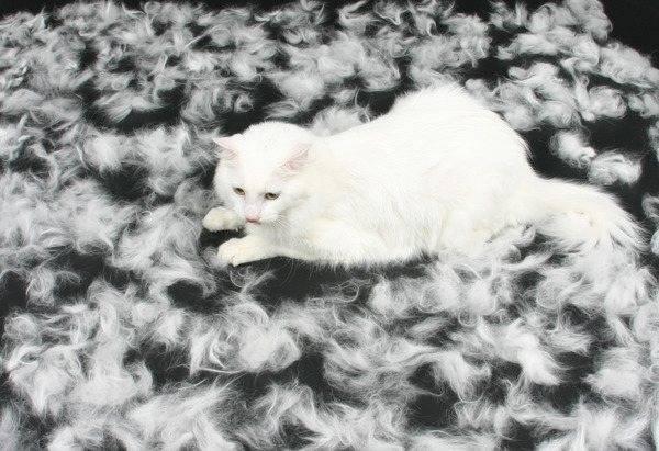 Почему британская кошка сильно линяет - oozoo.ru