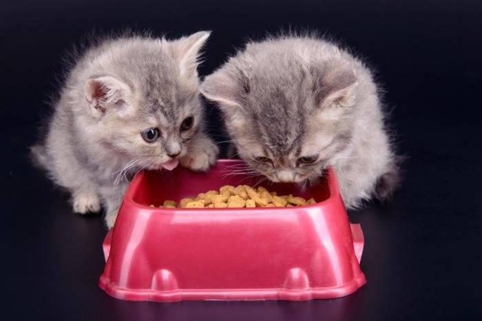 Можно ли кормить котенка взрослым кормом: чем отличается состав, рекомендации ветеринаров