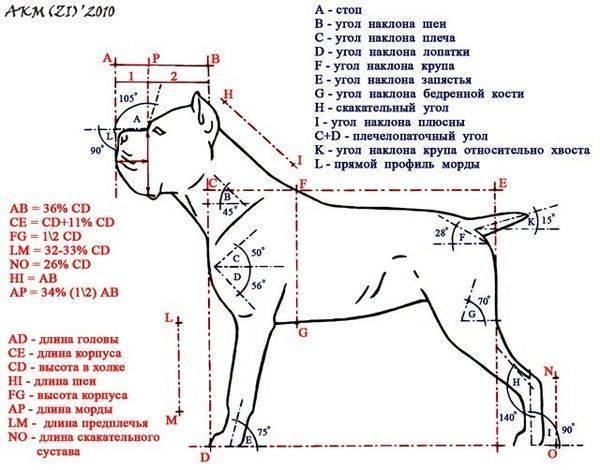 Стандарт породы кане корсо - стандарт fci №343 - italian cane corso