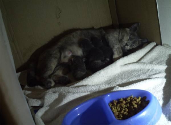 Чем кормить беременную кошку: натуральными или сухими кормами