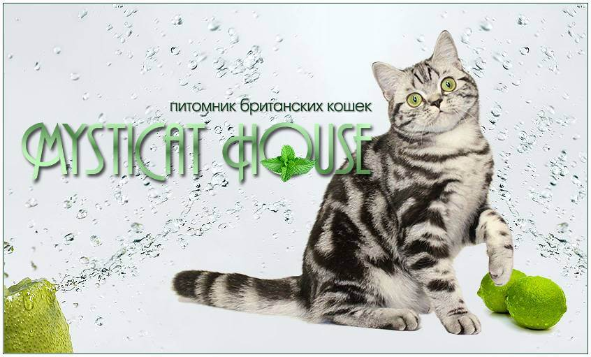 Британская кошка: стандарт, варианты окраса, характер и уход