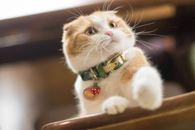Продолжительность жизни шотландской кошки