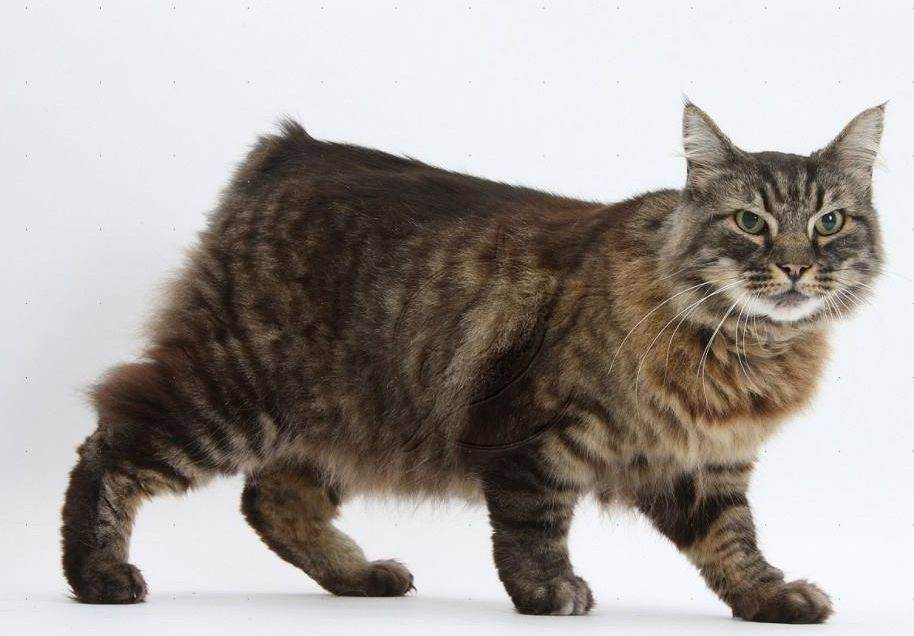Перечень всех пород кошек по алфавиту