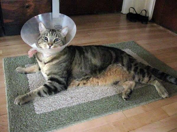 Воротник для кота после кастрации своими руками ⋆ онлайн-журнал для женщин