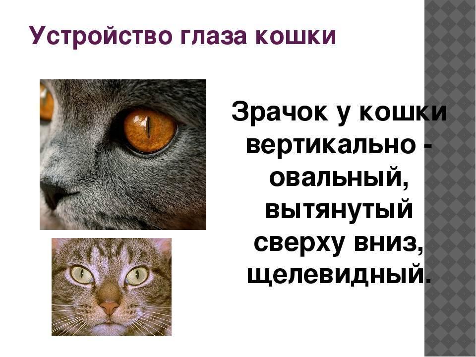 Строение кошачьих глаз, особенности зрения кошек: как они видят, что означают расширенные зрачки у кота?